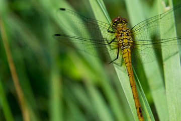 A dragonfly  Cordulia aenea  warming its wings in the early morn