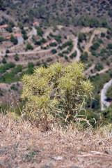 Горные колючие растения,Кипр