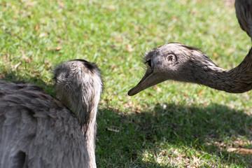 Two emu (Dromaius novaehollandiae)
