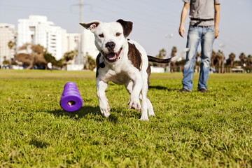 Pitbull Running after Dog Chew Toy
