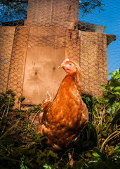 Hen roaming outside the chicken coop