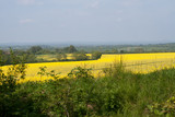 Yellow river of oilseed rape