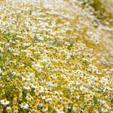 Łąka ze stokrotkami - 53794921