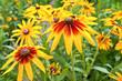 Rudbeckia hirta in the garden