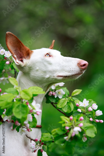 dog with apple-tree blossoms