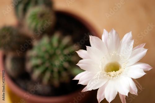 Fotobehang Cactus Queen of the night (selenicereus grandiflorus) in a pot