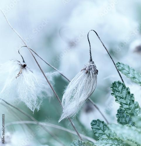 White Dryas