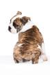englische Bulldogge sitzend von hinten