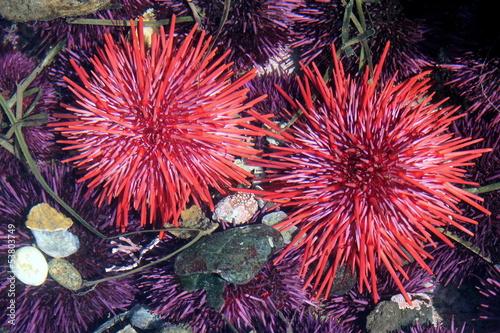 Leinwanddruck Bild Red Sea Urchins