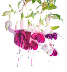 violet and pink fuchsia flower isolated, Tamara Balyasnikova