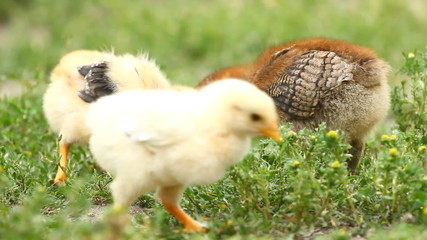 Baby chicks on the green grass