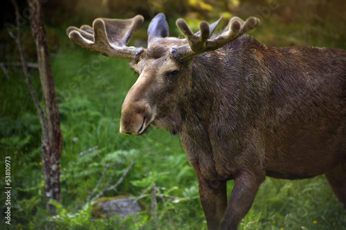 Moose in Sweden