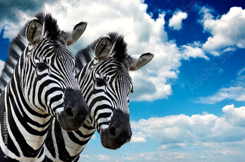 Foto op Canvas Zebra Zebra pair