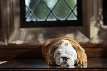Cute english bulldog puppy in a luxury room indoors