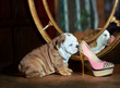 Cute english bulldog puppy with a sexy pink shoe