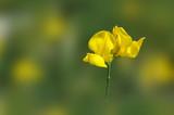 Fiore di ginestra