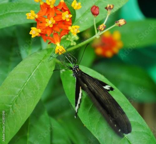 Schmetterling saugt an oranger Blüte