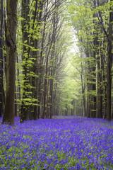Vibrant bluebell carpet Spring forest landscape