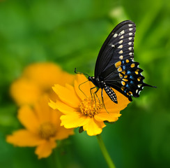 Black Swallowtail butterfly feeding on yellow Tickseed flower