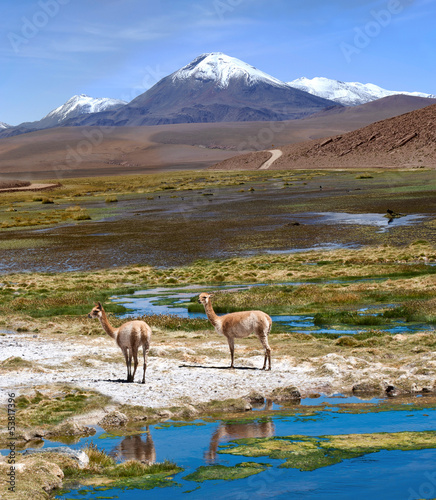 Staande foto Lama Vicuñas graze in the Atacama, Volcanoes Licancabur and Juriques