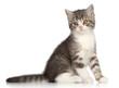 Scotish Straight kitten on a white background