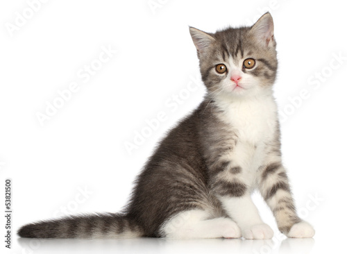 Scotish Straight kitten on a white background