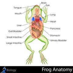 Frog Anatomy