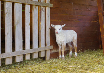 Little lamb in wooden shelter