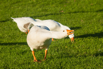 attacking domestic geese