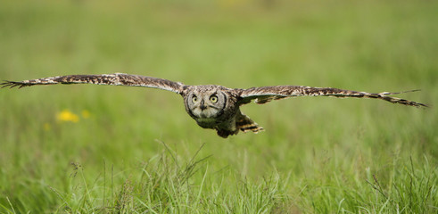 Spotted Eagle Owl in flight