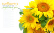 Sunflowers are on a white background with space for text