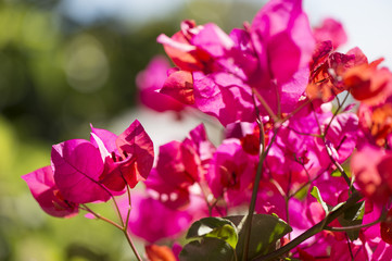Close-up of bougainvillea flowers