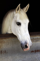 White horse in the stable