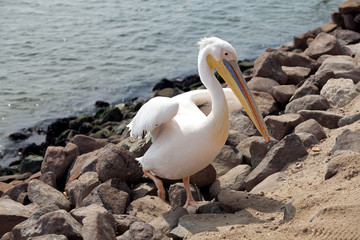 pelican on the coast of Namibia