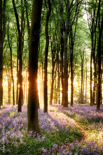 Bluebells in sunrise light