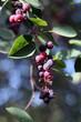 amelanchier - saskatoon berries