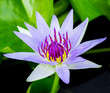 blue water lily or lotus
