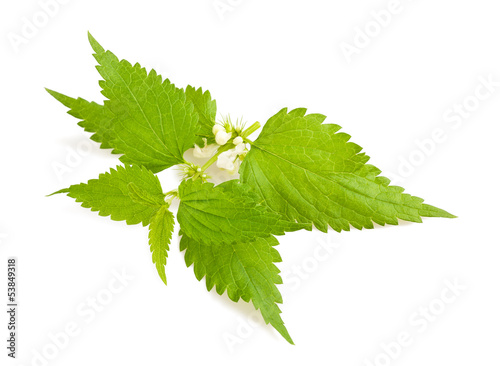 Nettle with flowers