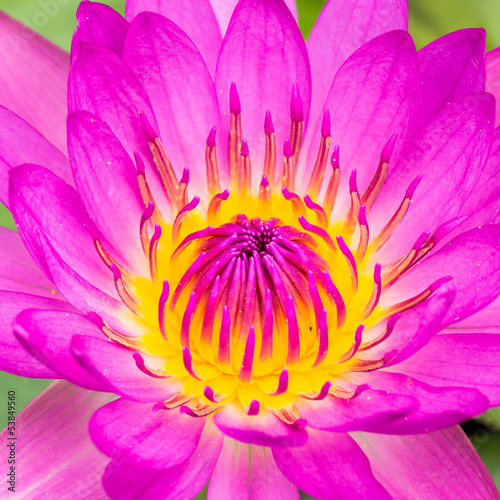 purple water lily or lotus