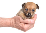 Chihuahua sitting in hand