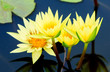 yellow water lily or lotus