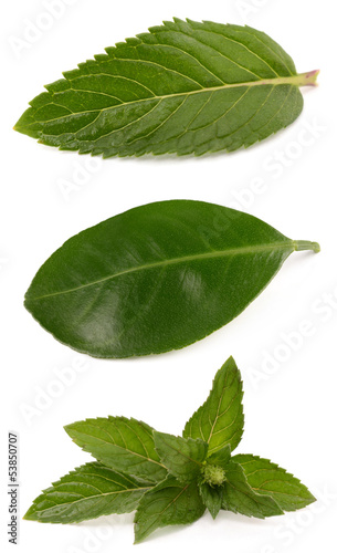 Mint and citrus leaves on a white background