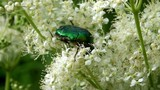 Green Rose Chafer (Cetonia Aurata) flew in to flower.