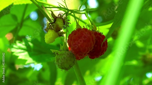 Ripe fruits of wild red raspberry.