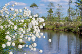 Summer Landscape with blooming Cotton Grass
