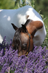 Mottle miniature horse in purple flowers