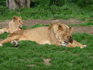 a lioness and her little lying in the grass