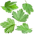 Gooseberries leaves.