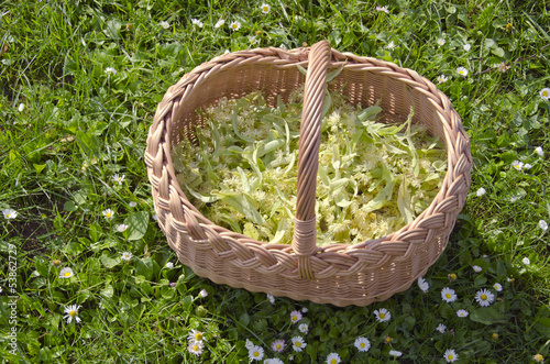 medical linden flowers harvest basket on summer grass