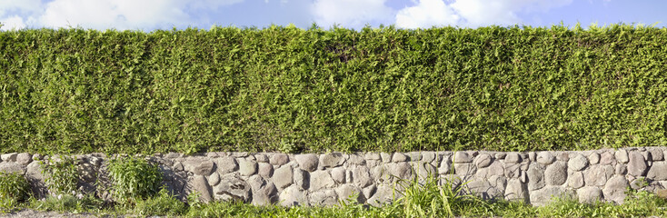 Thuja green hedges panoramic image